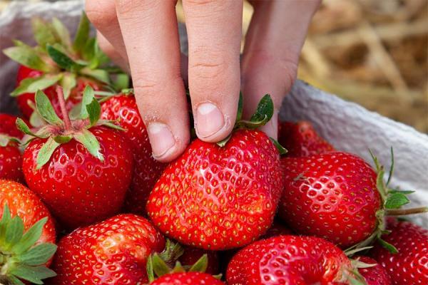 Erdbeeren in der Schale, Foto: P. Kaiser