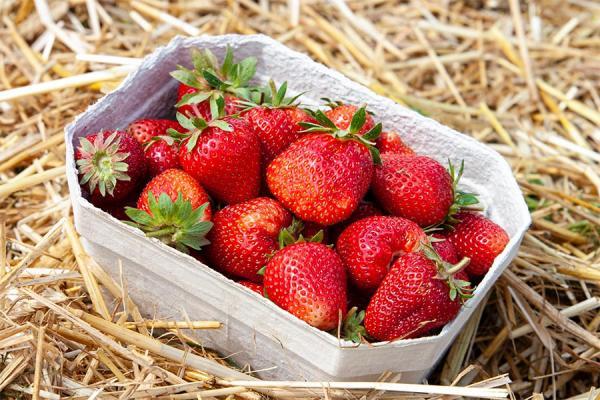 Erdbeeren pflücken, Foto: P. Kaiser